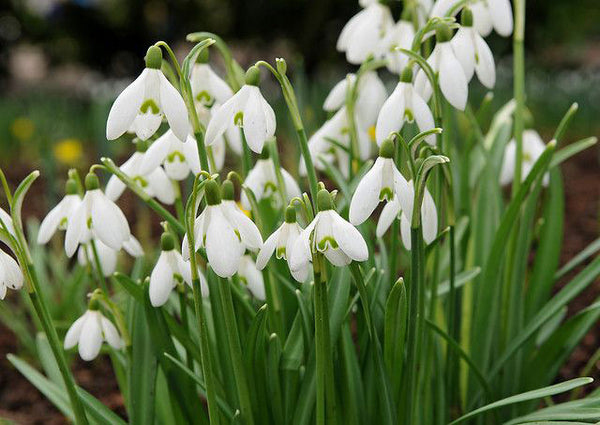 Early Snowdrops Galanthus - 10 bulbs