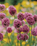 Drumstick Allium - 5 bulbs