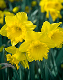 Dutch Master Trumpet Daffodil - 10 bulbs