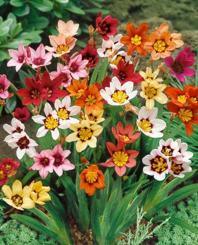 Mixed Sparaxis -25 bulbs
