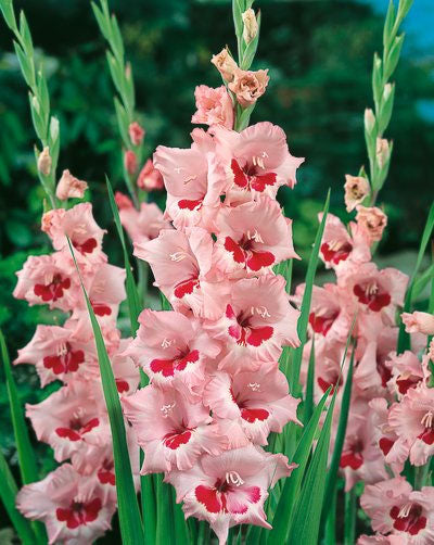 Wine and Roses Gladiolus - 5 bulbs