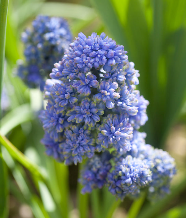 Blue Spike Muscari - 10 bulbs