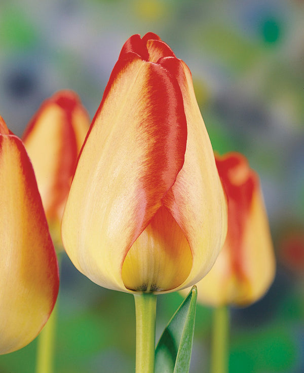 American Dream Darwin Hybrid Tulip - 10 bulbs