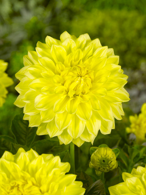 Cezanne®  Dahlia - 3 root divisions