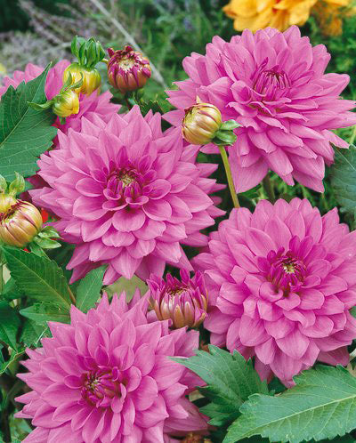 Lilac Time Decorative Dahlia - 3 root divisions