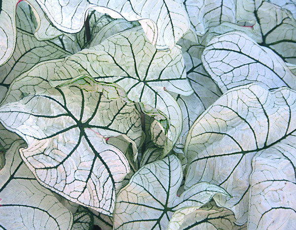 Candidum Jr Lance Leaved Caladium - 3 tubers