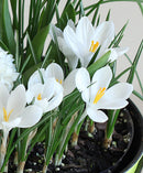 Jeanne d' Arc Large Flowering Crocus - 10 bulbs