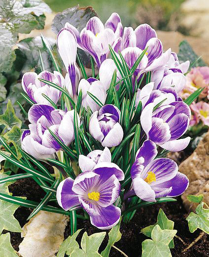 King of the Striped Large Flowering Crocus - 10 bulbs