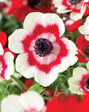 Bi-color Anemone Coronaria - 25 bulbs