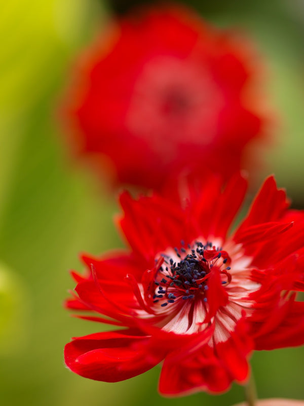 The Governor  Anemone Coronaria - 25 bulbs