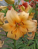 Pearl Stacey Asiatic  Lily - 5 bulbs