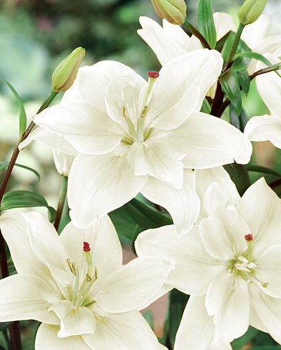 Annemarie's Dream Double Asiatic Lily - 5 bulbs
