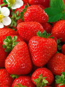 Seascape Everbearer Strawberry - 10 root divisions