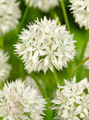 Graceful Allium - 5 bulbs