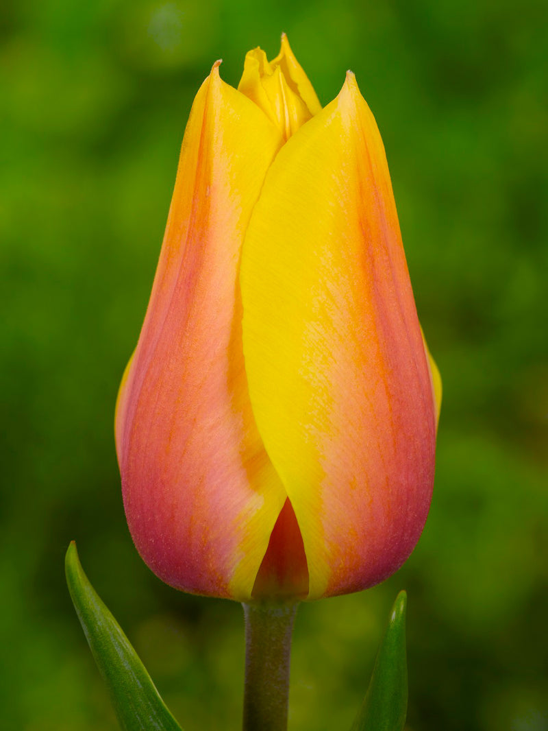Blushing Beauty Single Late Tulip - 10 bulbs