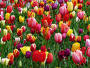 Mixed Tulips - 30 bulbs