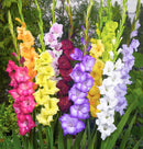Mixed Gladiolus - 15 bulbs