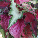 Mixed Lance Leaved Caladium - 9 tubers