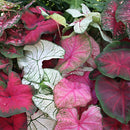 Mixed Fancy Leaved Caladiums - 9 tubers