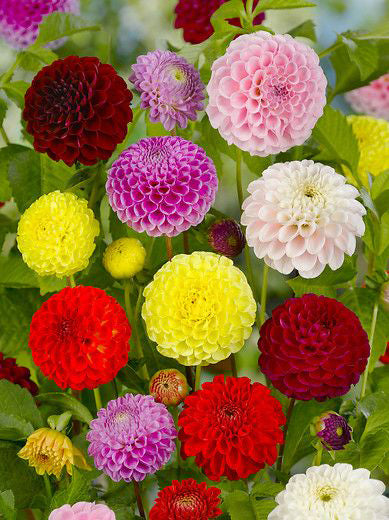 Mixed Ball Dahlias - 9 root divisions