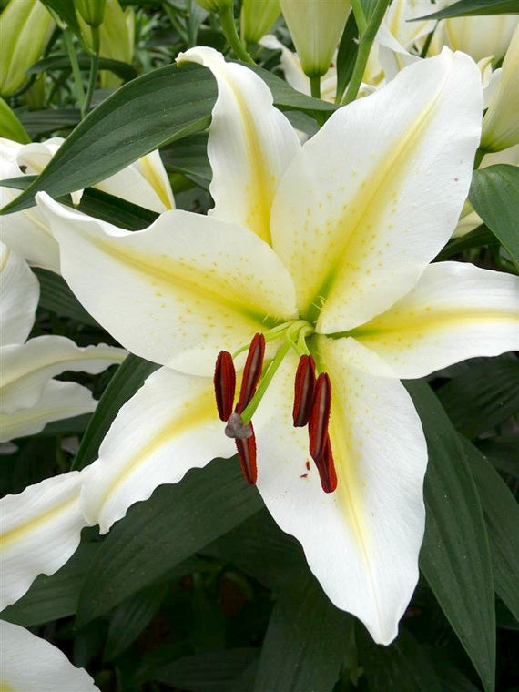 Baferrari Oriental Lily - 5 bulbs