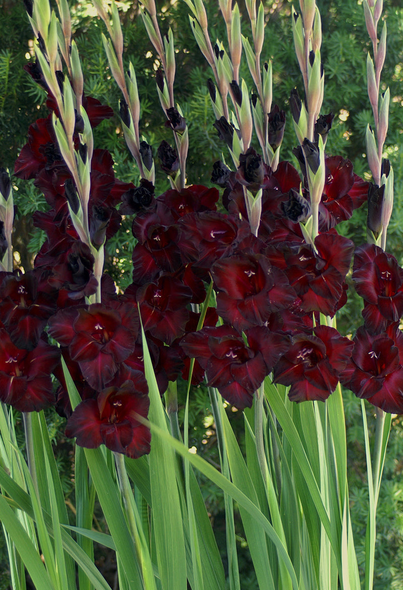 Black Sea Gladiolus- 5 bulbs