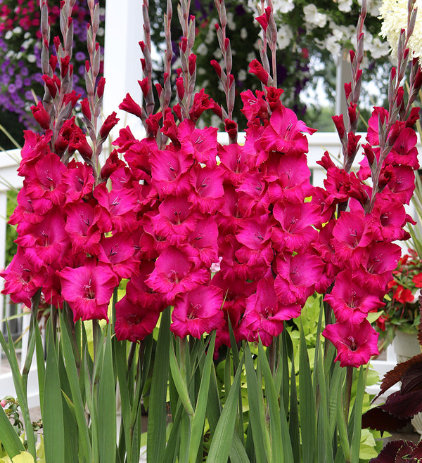 Purple Rain Gladiolus - 5 bulbs