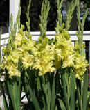 Green Flash Gladiolus- 5 bulbs