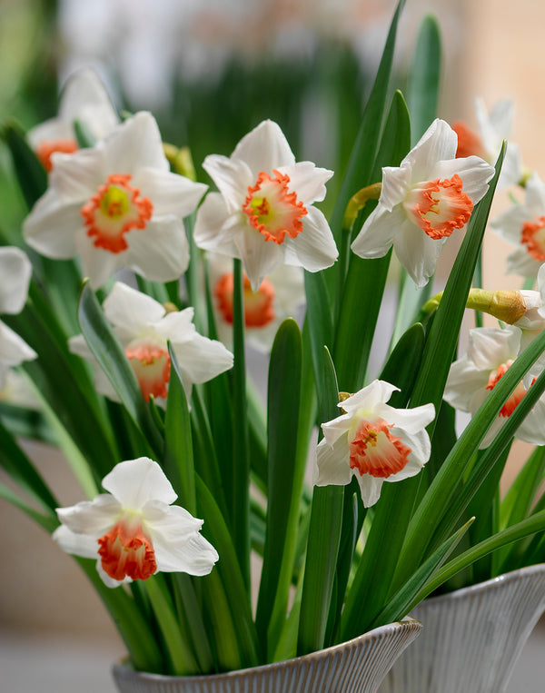 Accent Large Cup Daffodil - 10 bulbs