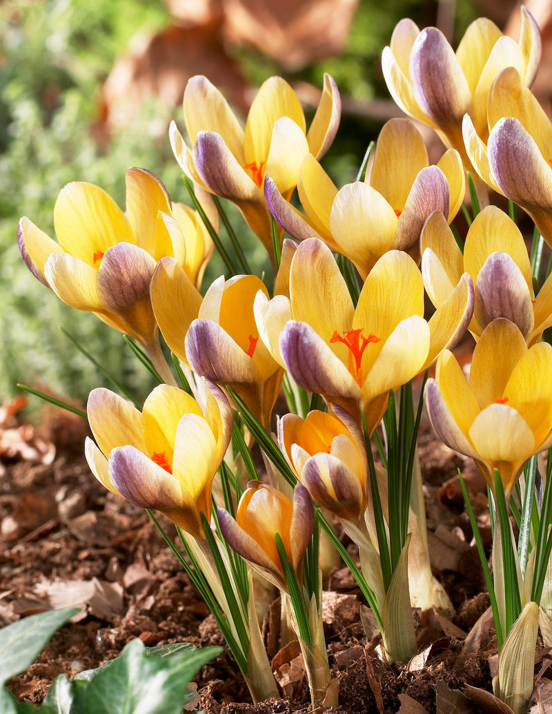 Advance Species Crocus - 10 bulbs