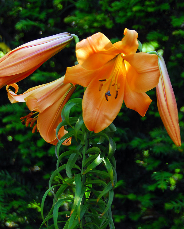 African Queen Trumpet Lily - 5 bulbs