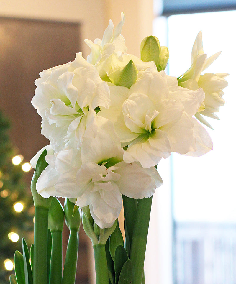 Alfresco® Mini Amaryllis Bulb