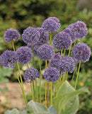 SOLD OUT Caeruleum Allium - 5 bulbs