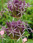 SOLD OUT Christophii Allium - 5 bulbs
