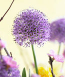 SOLD OUT Gladiator Allium - 3 bulbs