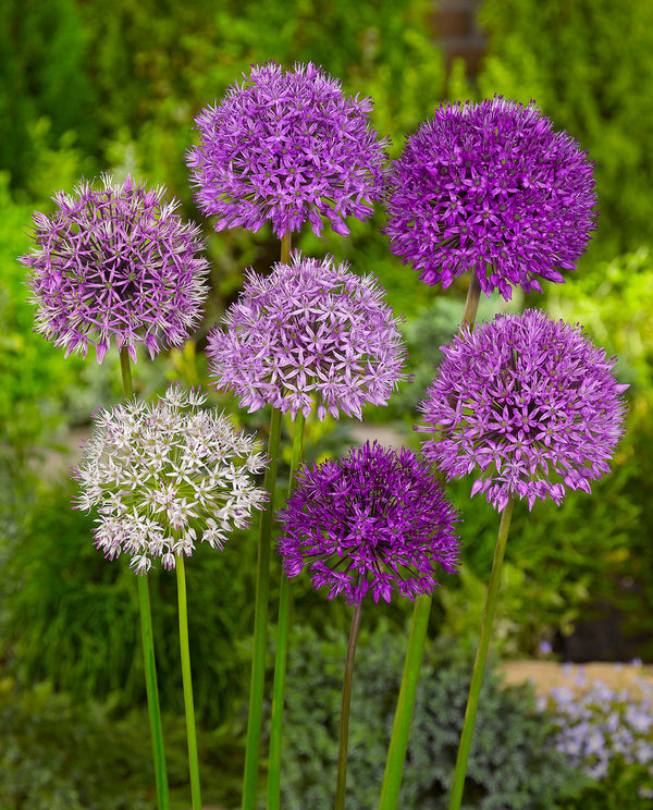 SOLD OUT Mixed Allium - 15 bulbs