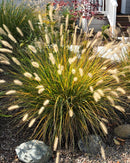 Alopecuroides Fountain Grass - 3 bareroot plants