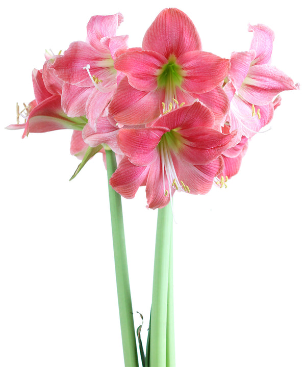 SOLD OUT Amalfi® Mini Amaryllis Bulb