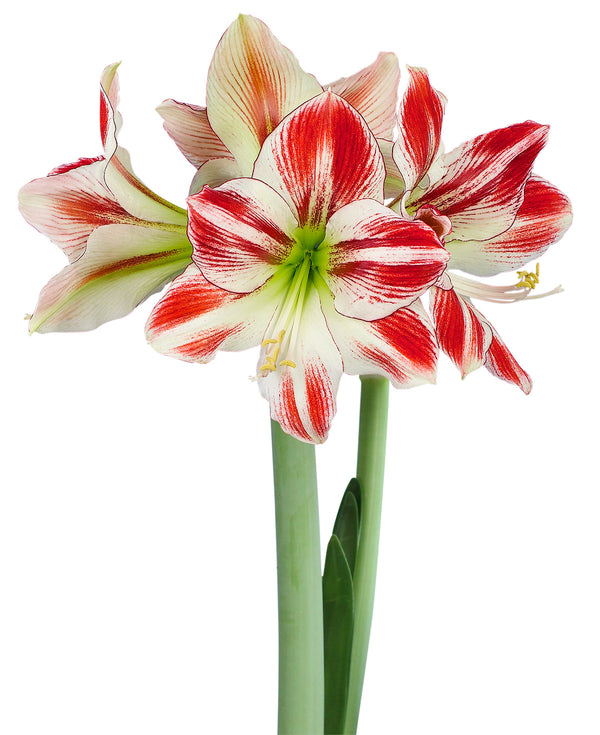 SOLD OUT Ambiance Amaryllis Bulb