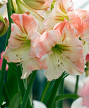 SOLD OUT Apple Blossom Amaryllis - 1 bulb