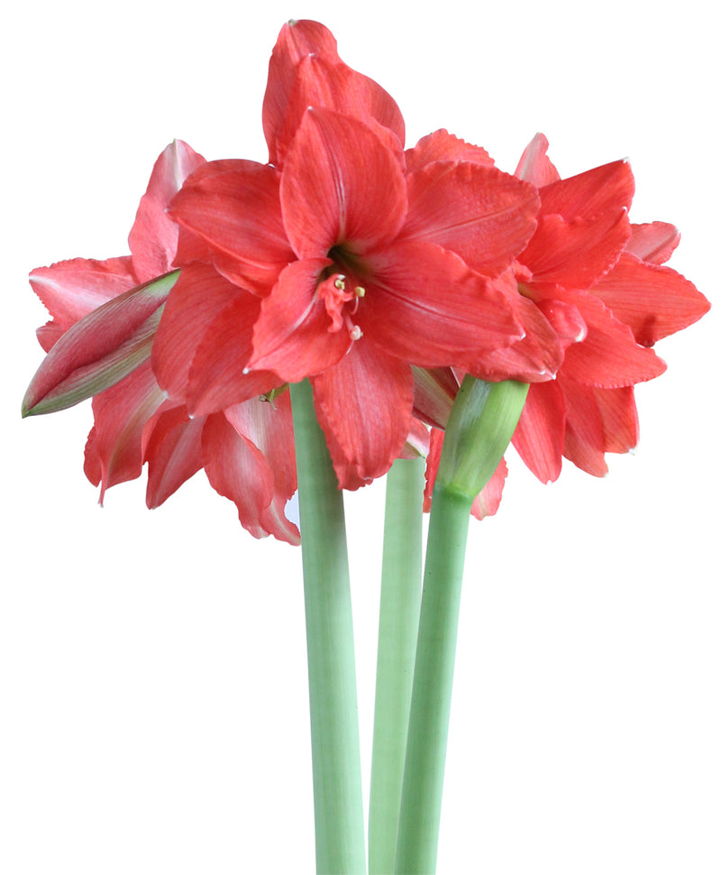 SOLD OUT Ballerina® Mini Amaryllis Bulb