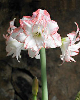 SOLD OUT Blossom Peacock Amaryllis Bulb