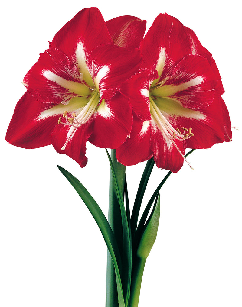 SOLD OUT Cocktail® Symphony Amaryllis  Bulb