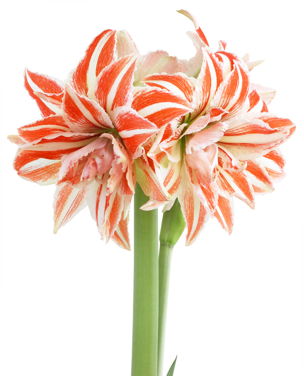 SOLD OUT Dancing Queen Jumbo Amaryllis - 1 bulb