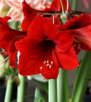 SOLD OUT Red Lion Amaryllis - 1 bulb