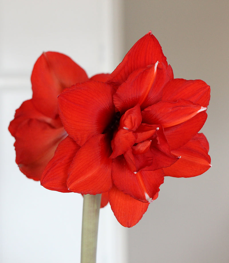 Red Peacock Amaryllis - 1 bulb