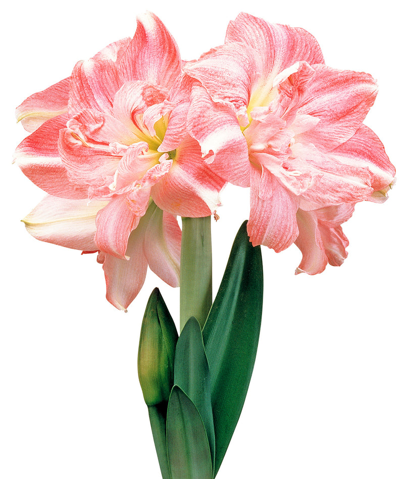 SOLD OUT Rozetta® Symphony Amaryllis  Bulb