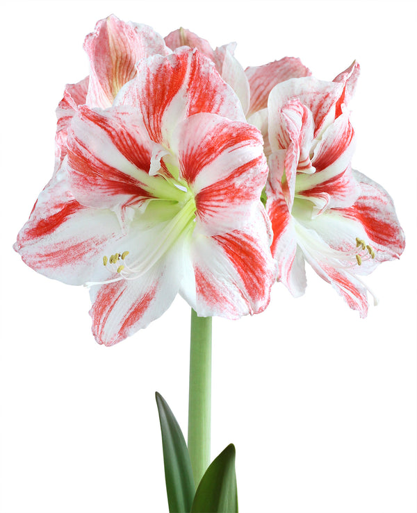 SOLD OUT Clown Amaryllis  - 1 bulb