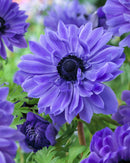 SOLD OUT Lord Lieutenant Anemone Coronaria - 25 bulbs