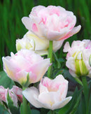 SOLD OUT Angelique Double Late Tulip - 10 bulbs